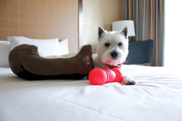 Buster relaxing on a queen size bed at the Hyatt! When you check-in with your pet a doggy bed, treat, bowls, toy and collar are placed in your room.