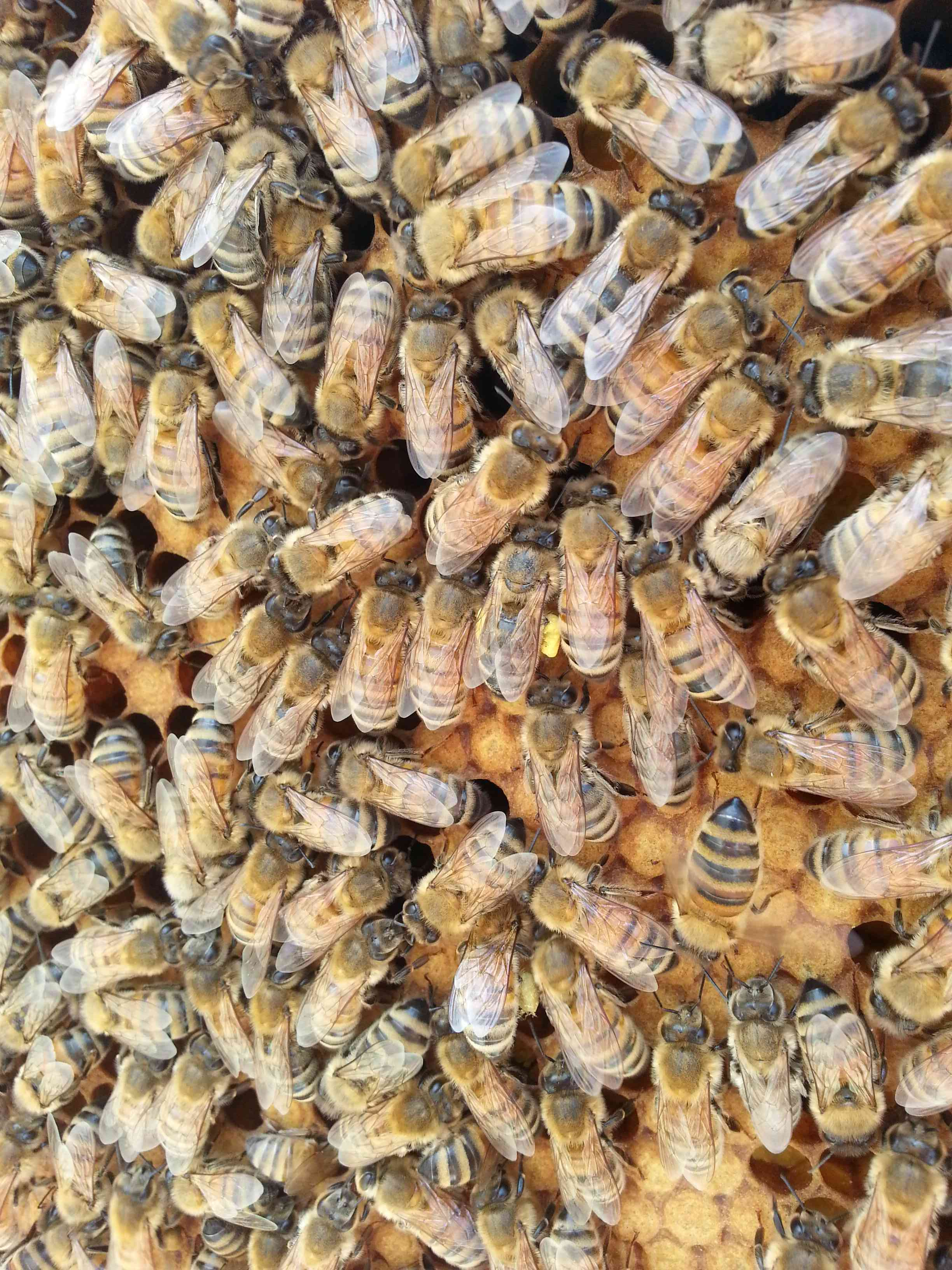 honeybee report 3 justification of the report and its results the honeybee surveillance program of the netherlands is initiated to obtain insight in the level of winter mortality in.