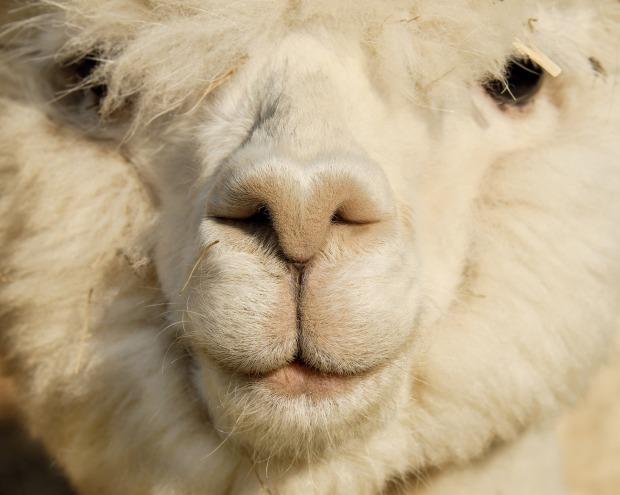 alpaca-2781920_1920.jpg